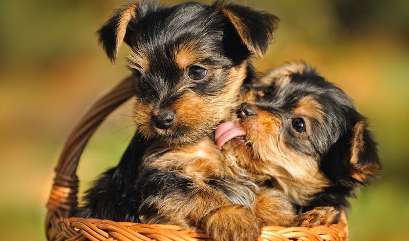 Ein seriöser Yorkshire Terrier Züchter ist Mitglied in einem Yorkshire Terrier Club. ( Foto: Shutterstock-  anetapics)