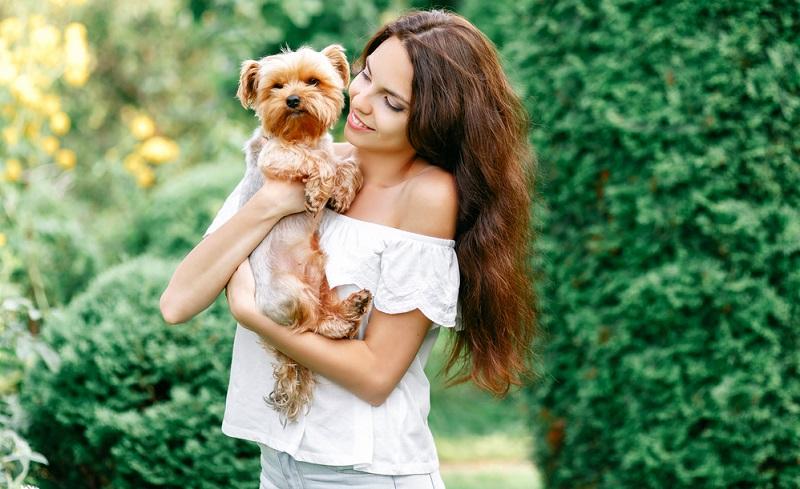 Der Yorkshire Terrier ist, genau wie seine Artgenossen, nicht als Hund für Ersthundebesitzer geeignet.  ( Foto: Shutterstock- ArtdayAnna)