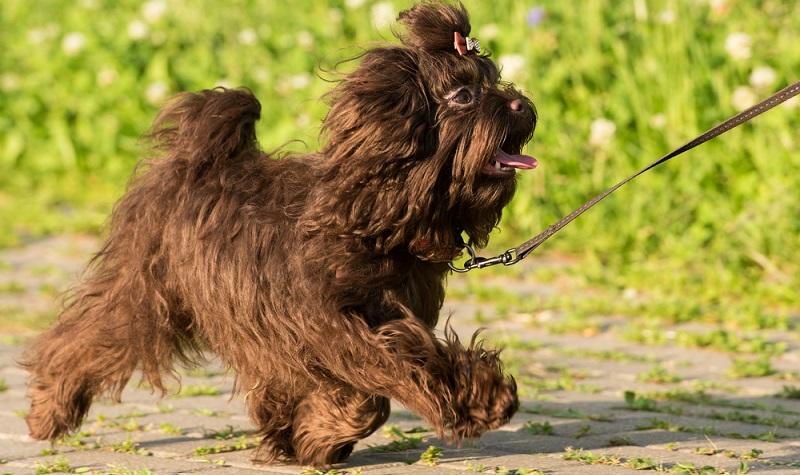 Für alle die sich einen Bolonka Zwetna zulegen übernehmen die Verantwortung für einen sehr menschenbezogenen Hund. (Foto: Shutterstock- ponev Vladimir_)