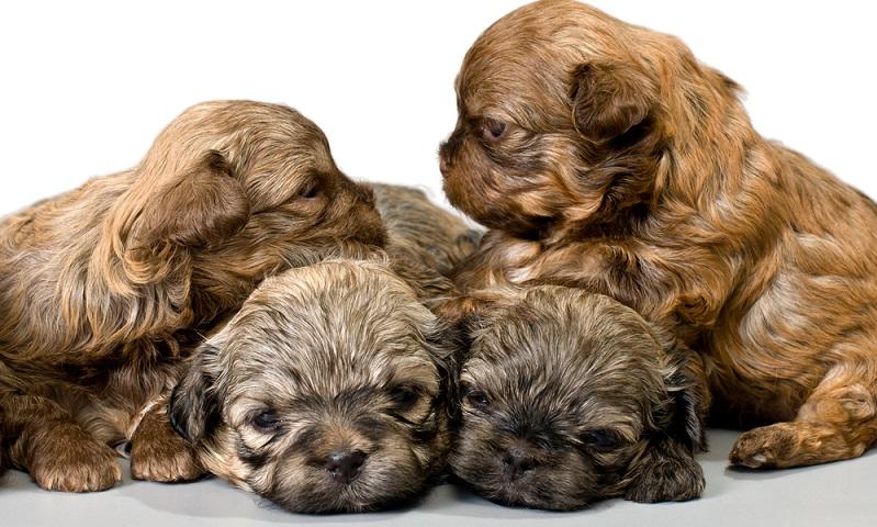 Der Bolonka Zwetna gehört eher zur Kategorie kleiner Hund, sein Haarkleid ist lang, wuschelig und lockig. (Foto: Shutterstock-_Suponev Vladimir )