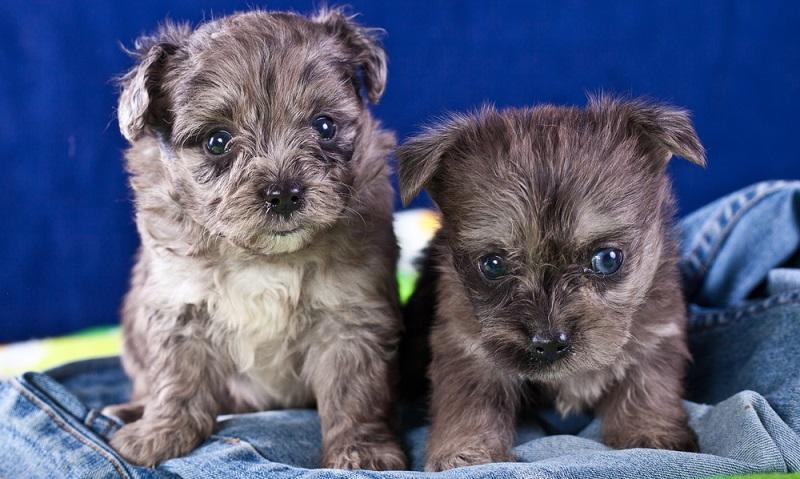 Bolonka Zwetna werden immer beliebter, das haben leider auch dubiöse, rücksichtslose Hundevermehrer bemerkt und züchten ohne Maß und Ziel kleine Welpen. ( Foto: Shutterstock-Bildagentur Zoonar GmbH)
