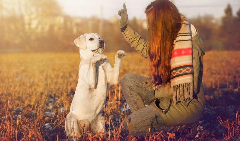 Als mittelgroß und kräftig ist der Hund zu beschreiben. Seine Widerristhöhe beläuft sich auf 54 bis 57 Zentimeter somit gehört der Labrador zu den mittelgroßen Hunderassen. (Foto: Shutterstock- manushot )