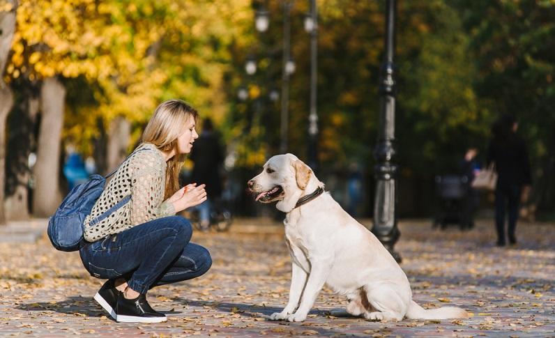 Durch seine Wissbegier hat der Labbi viel Spaß am Lernen und macht auch Hundeanfängern die Erziehung sehr leicht. (Foto: Shutterstock- Sushitsky Sergey)
