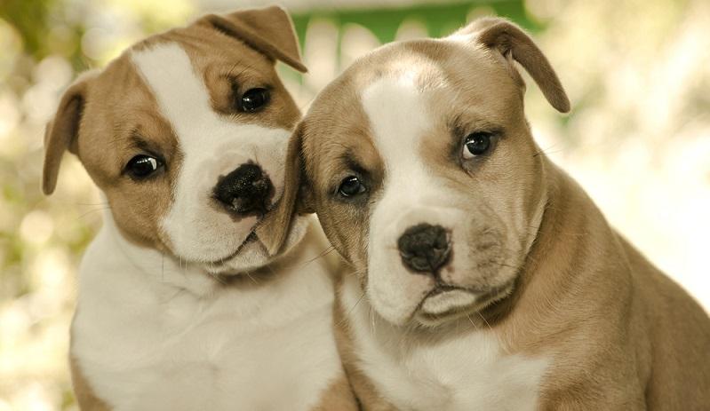 Generell sollte man sich die Entscheidung ob man sich einen Hund anschafft nicht leichtfertig treffen. Bei der Anschaffung eines Staffordshire Terriers sollte es noch die ein oder andere Überlegung mehr sein.( Foto: Shutterstock-_Alena Kazlouskaya)