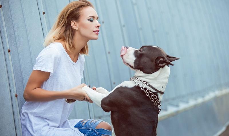 Erfolgreiche Sozialisierung und Erziehung ist für einen Staffordshire Terrier extrem wichtig. (Foto: Shutterstock- SunKids )