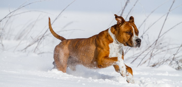Staffordshire Terrier: Kampfhund oder Nanny Dog? ( Foto: Shutterstock- Aneta Jungerova )