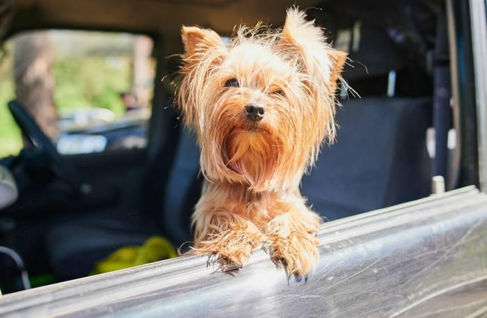 Im Auto zu verreisen ist für den Vierbeiner die angenehmste Art zu Reisen. (Foto: shutterstock - Vershinin89)